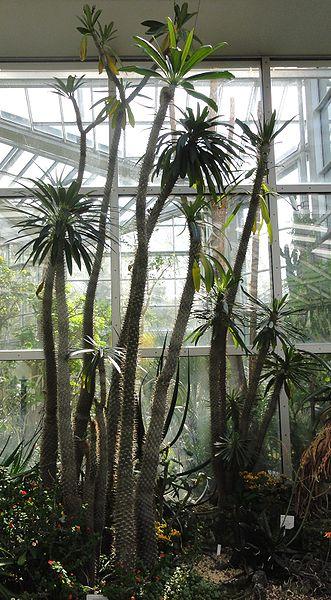 File:Pachypodium lamerei - Palmengarten Frankfurt.jpg