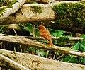Pachyramphus cinnamomeus.jpg