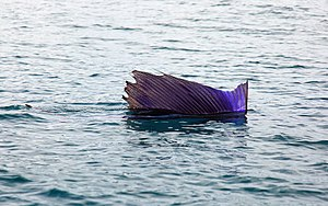 Sailfish - An Indo-Pacific sailfish raising its sail
