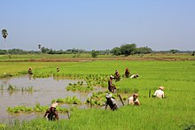 a green paddy field