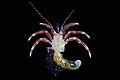 Paguridae (MNHN-IU-2010-4881).jpeg