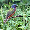 Painted Bunting, Male 24 Jun 06 (177601697).jpg