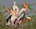 Painted Stork (Mycteria leucocephala) in Uppalapadu, AP W2 IMG 5066.jpg