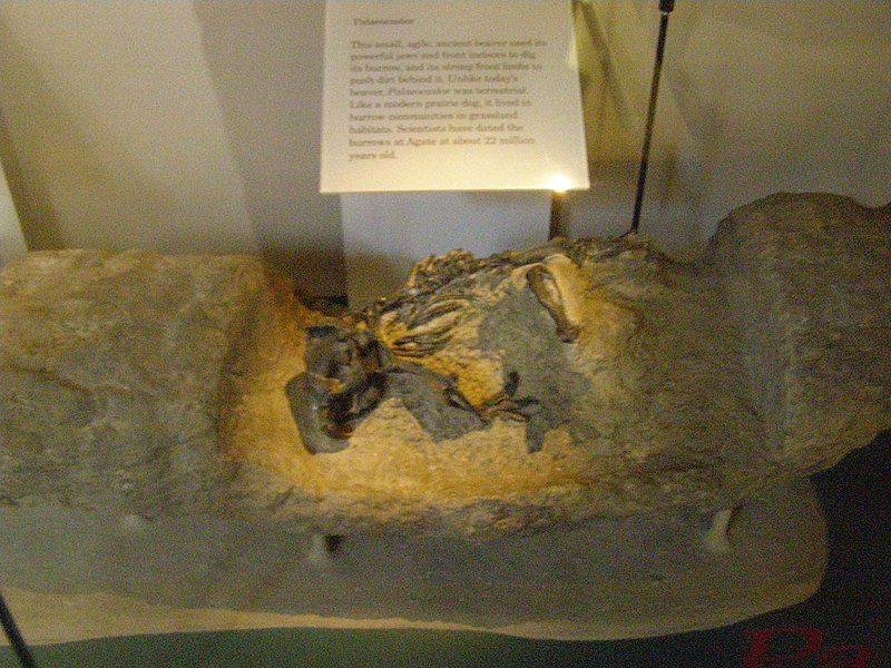 File:Paleocaster (beaver) P7180298.jpg
