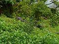 Pallid Crotalaria (2661240090).jpg