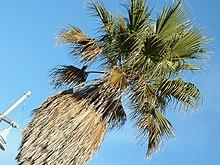 Palm Askew.jpg
