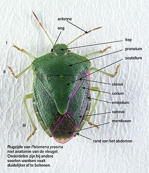 Anatomie insecten wikipedia for Puntura cimice
