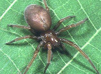Pandava (spider) - Pandava laminata female