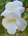 Pandorea jasminoides 'Lady Di'.jpg