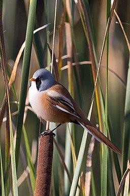Panurus biarmicus -Oare Marshes, Kent, England -male-8 (3)