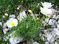 Papawer alpinum a1.jpg