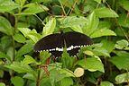 Papilio Polytes male 05300.JPG