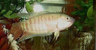 Paradise fish - Albino paradise fish