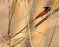 Paradise Flycatcher1.jpg