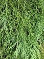 Parc Fenestre (Sequoiadendron giganteum foliage).jpg