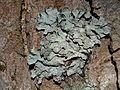 Parmelia sulcata T81.jpg