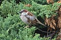 Passer domesticus perched on Thuja occidentalis.jpg