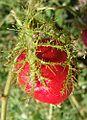 Passiflora foetida (17786896898).jpg