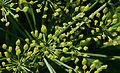 Pastinaca sativa subsp. sativa flowers, Pastinaak bloemen (8).jpg