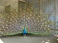 Peafowl at Gappo park 20060828.jpg