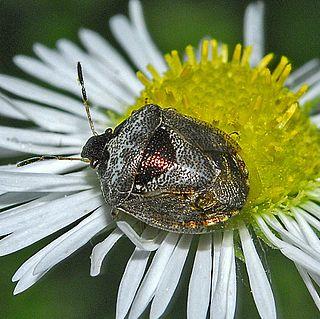 <i>Stagonomus venustissimus</i> species of insect