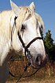 Percherons Blancs Cl J Weber0011 (23455196004).jpg