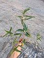 Persicaria amphibia sl8.jpg