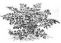 Persil commun Vilmorin-Andrieux 1883.png