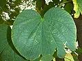 Phanera purpurea leaf.JPG