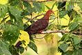 Philippine Cuckoo-Dove (Macropygia tenuirostris), Bangkong Kahoy valley, Luzon, Philippines (13736387065).jpg