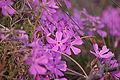 Phlox subulata.jpg