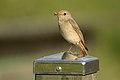 Phoenicurus phoenicurus (Gartenrotschwanz) 2020-01.jpg