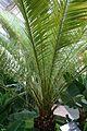 Phoenix Canariensis (1) (11982925004).jpg