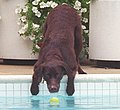 Photograph of Buddy the Dog Reaching for a Tennis Ball- 07-12-1998 (6461536137) (cropped).jpg