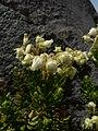 Phyllodoce glanduliflora 21026.JPG