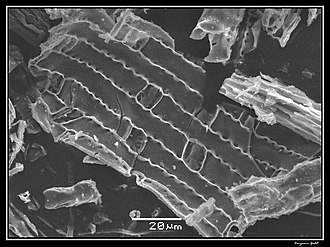 Phytolith - Elephant grass phytolith processed by dry ashing