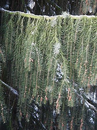 Picea breweriana - Image: Picea breweriana weeping twigs 2