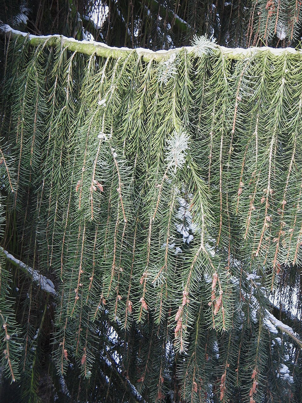 Picea breweriana - weeping twigs2