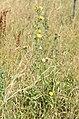 Picris heiracioides 01.jpg