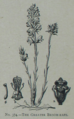 Picture Natural History - No 374 - The Greater Broom-rape.png