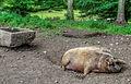 Pig, Beamish Museum, 13 November 2013 (1).jpg
