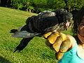 Pigeon Pombo 150eue.jpg
