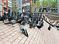 Pigeons at Alfonso Lopez Square - panoramio.jpg
