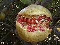 PikiWiki Israel 31444 Pomegranate Fruit..JPG