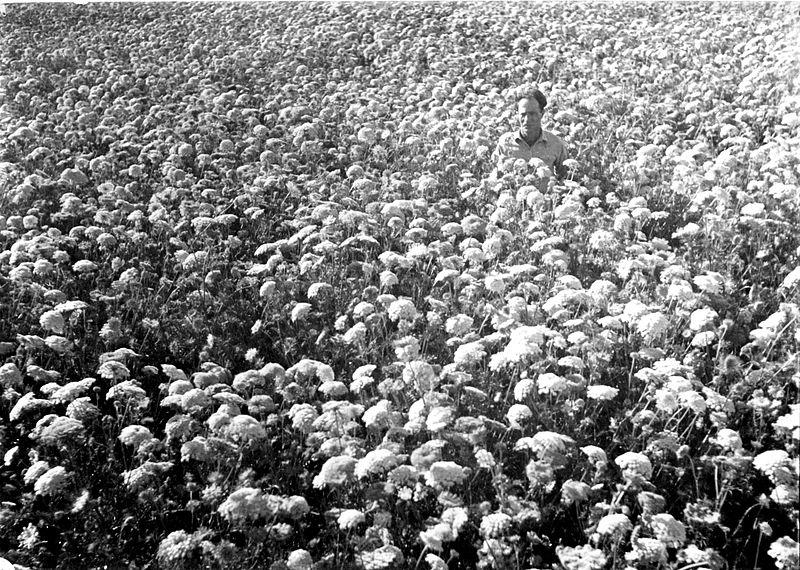 גן-שמואל-בגן הירק 1935
