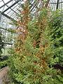 Pilgerodendron uviferum - Palmengarten Frankfurt - DSC01937.JPG