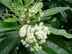 Pimenta dioica, flowers