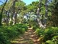 Pine Trees on Innisidgen Hill, St. Mary's - geograph.org.uk - 932139.jpg