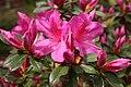 Pink Azalea Blossom (48839366597).jpg