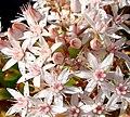 Pink Jade Flowers, Home 3-10-13b (8552627372).jpg